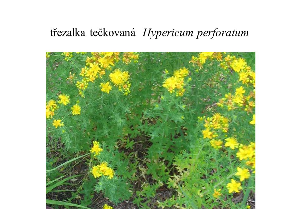 třezalka tečkovaná Hypericum perforatum