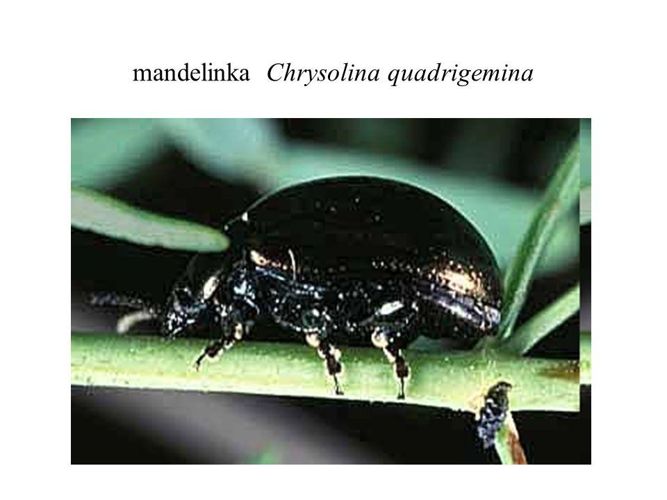 mandelinka Chrysolina quadrigemina