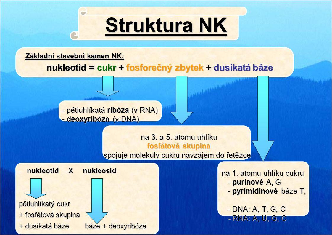 Struktura NK - pětiuhlíkatá ribóza (v RNA) - deoxyribóza (v DNA)