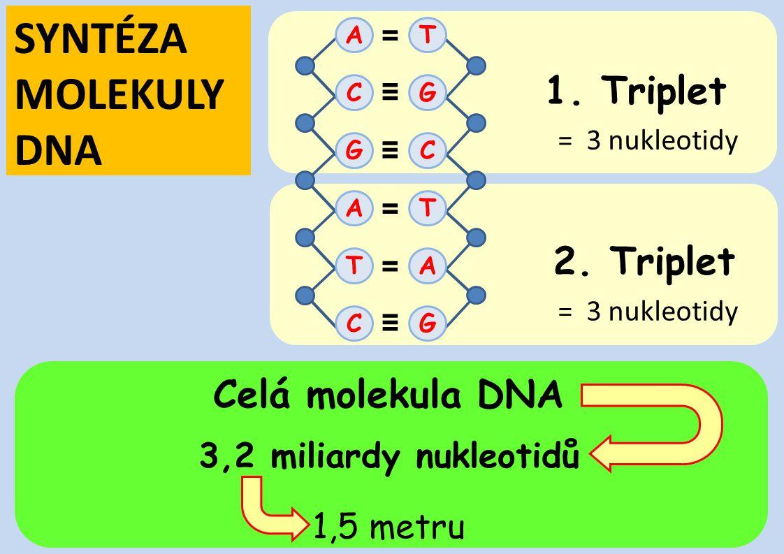 SYNTÉZA MOLEKULY DNA 1. Triplet 2. Triplet Celá molekula DNA