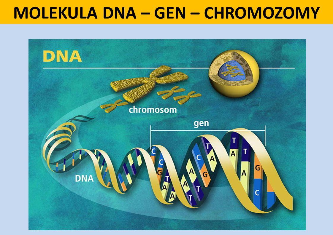 MOLEKULA DNA – GEN – CHROMOZOMY