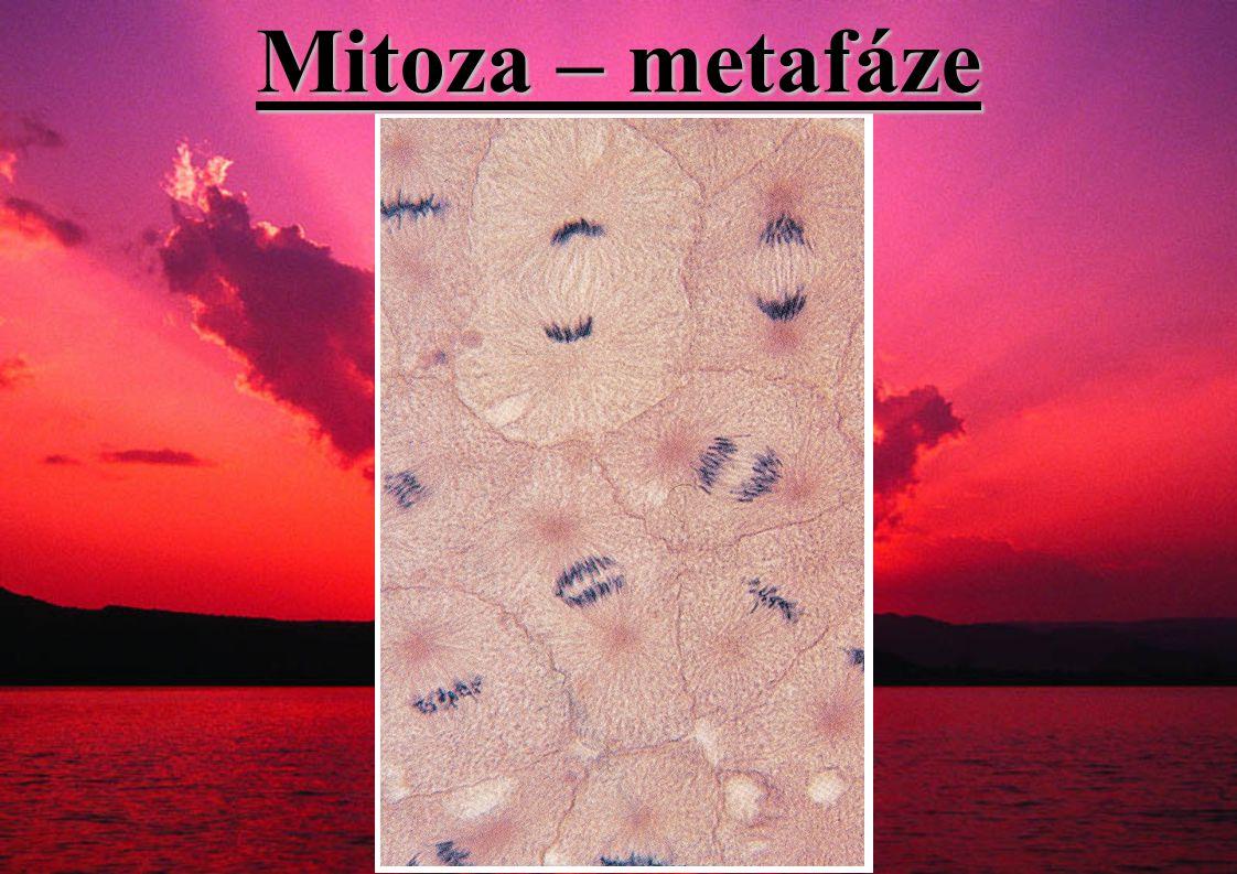 Mitoza – metafáze