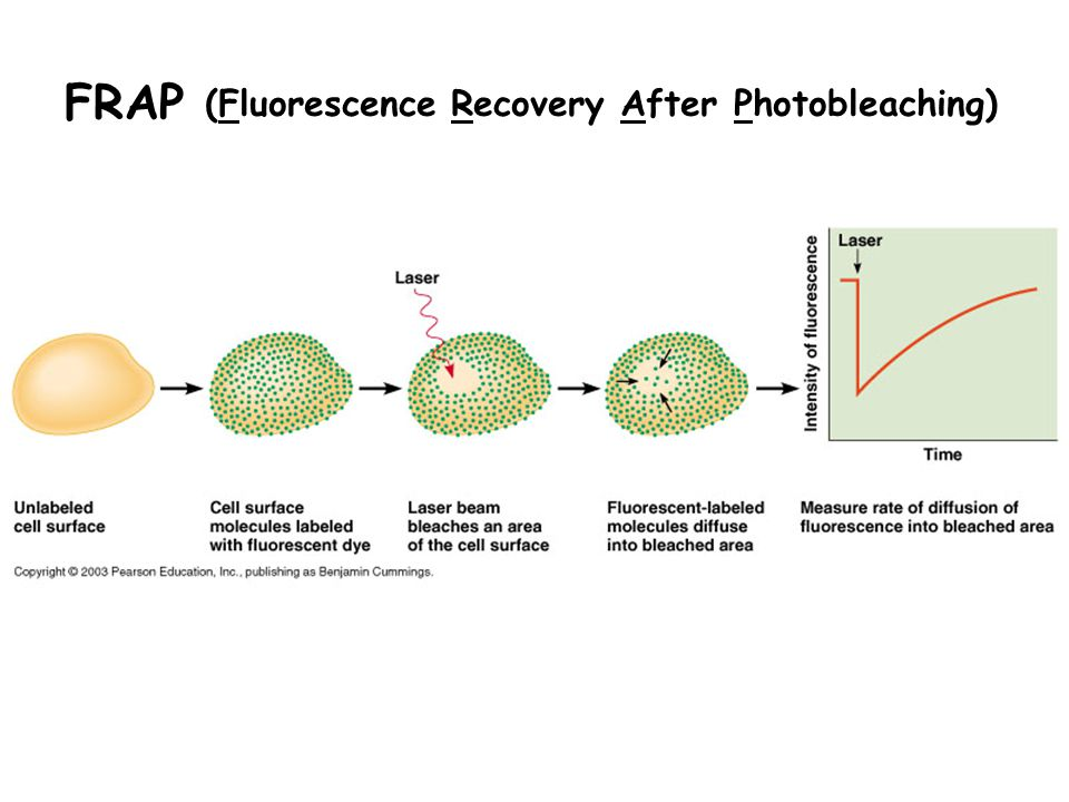 FRAP (Fluorescence Recovery After Photobleaching)