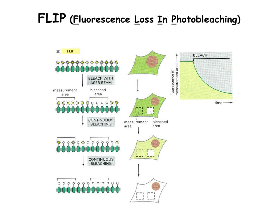 FLIP (Fluorescence Loss In Photobleaching)