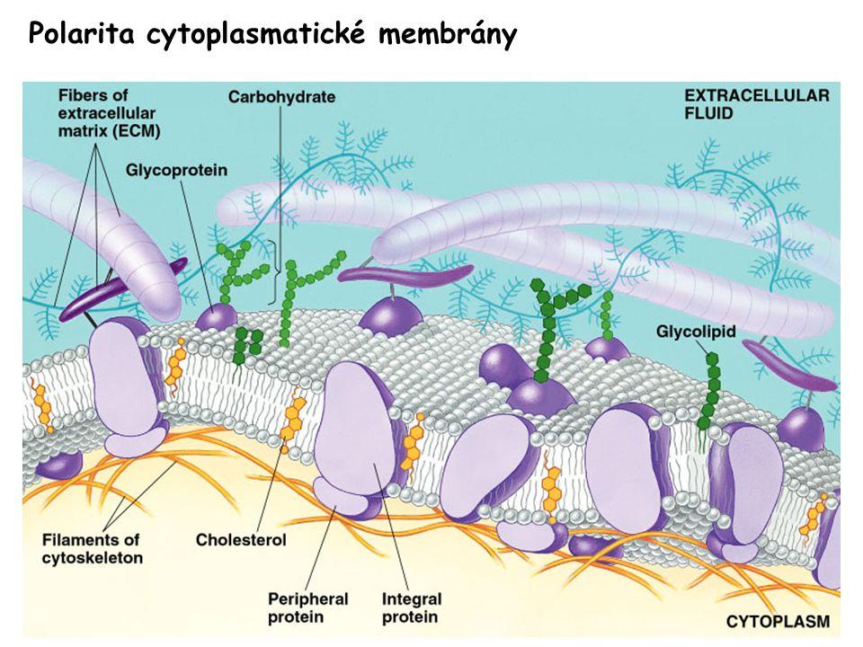Polarita cytoplasmatické membrány