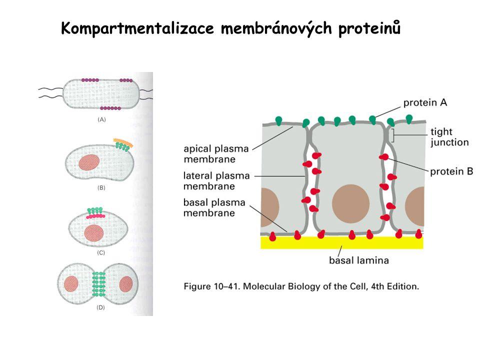 Kompartmentalizace membránových proteinů