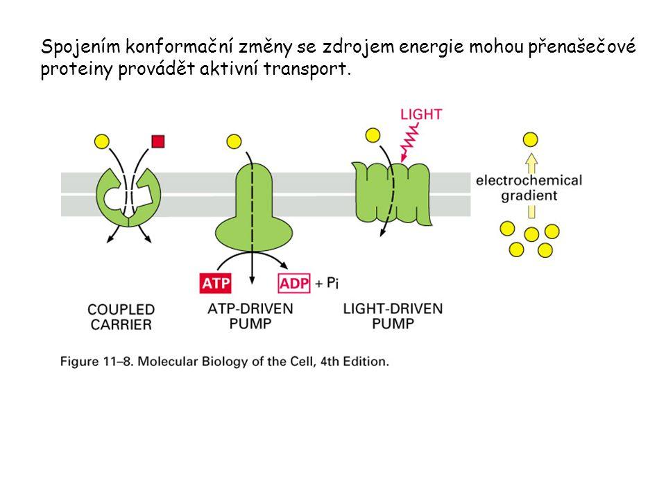 Spojením konformační změny se zdrojem energie mohou přenašečové proteiny provádět aktivní transport.