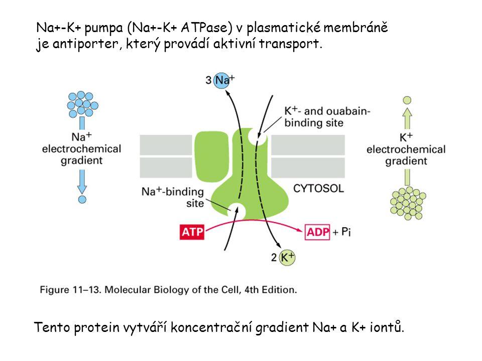 Na+-K+ pumpa (Na+-K+ ATPase) v plasmatické membráně je antiporter, který provádí aktivní transport.