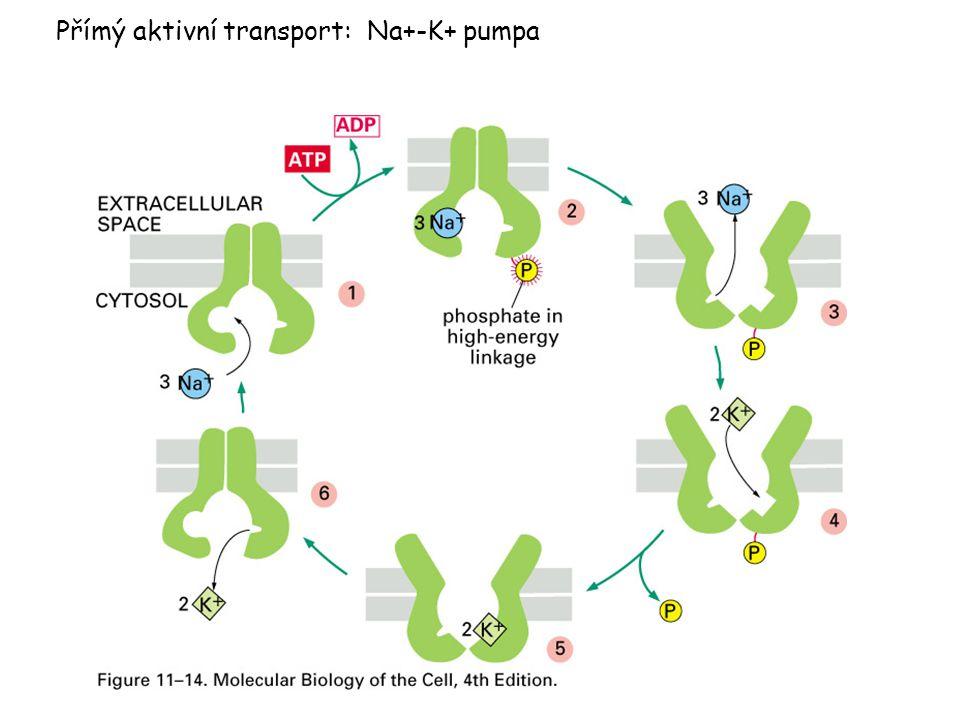 Přímý aktivní transport: Na+-K+ pumpa