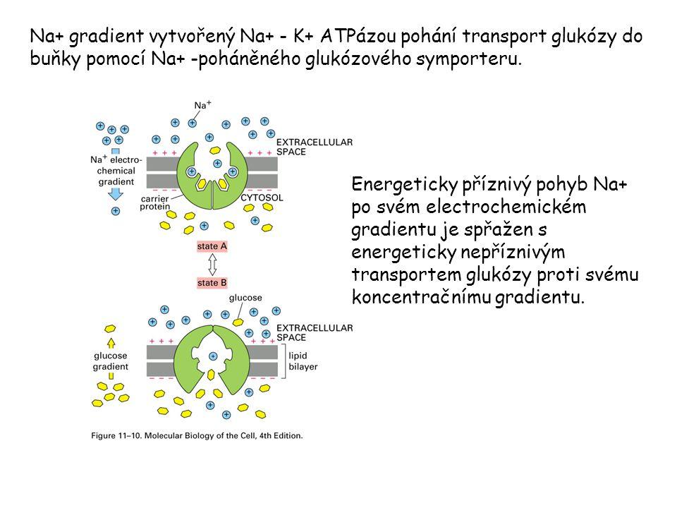 Na+ gradient vytvořený Na+ - K+ ATPázou pohání transport glukózy do buňky pomocí Na+ -poháněného glukózového symporteru.