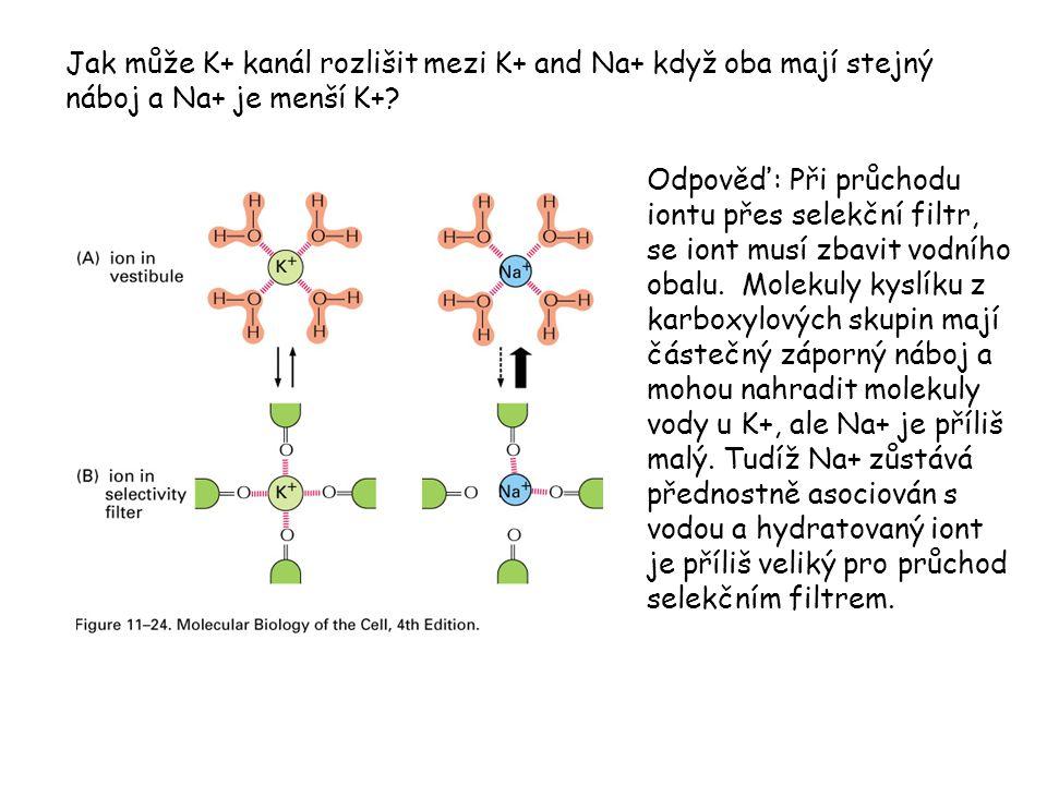 Jak může K+ kanál rozlišit mezi K+ and Na+ když oba mají stejný náboj a Na+ je menší K+