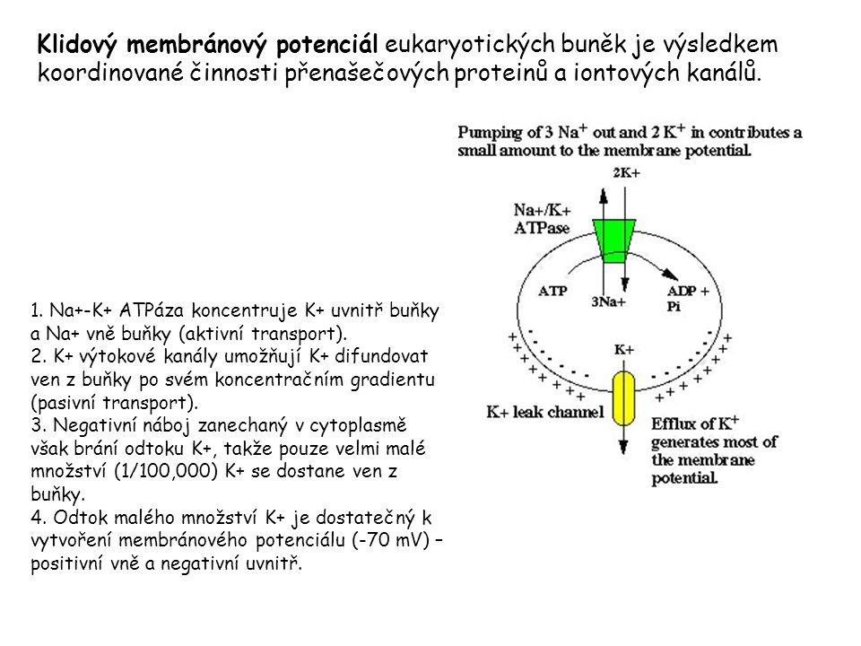 Klidový membránový potenciál eukaryotických buněk je výsledkem koordinované činnosti přenašečových proteinů a iontových kanálů.