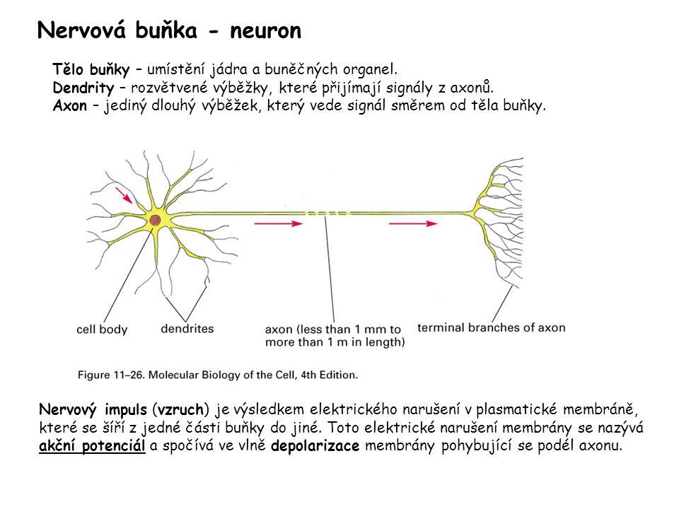 Nervová buňka - neuron Tělo buňky – umístění jádra a buněčných organel. Dendrity – rozvětvené výběžky, které přijímají signály z axonů.
