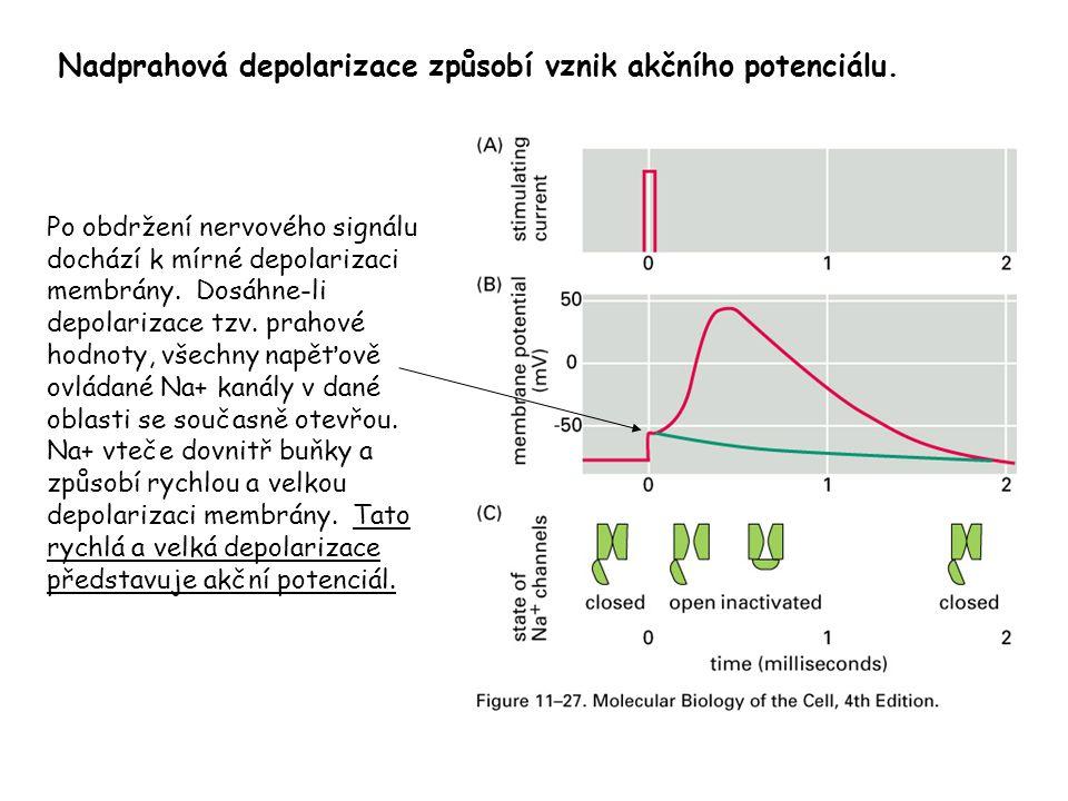 Nadprahová depolarizace způsobí vznik akčního potenciálu.