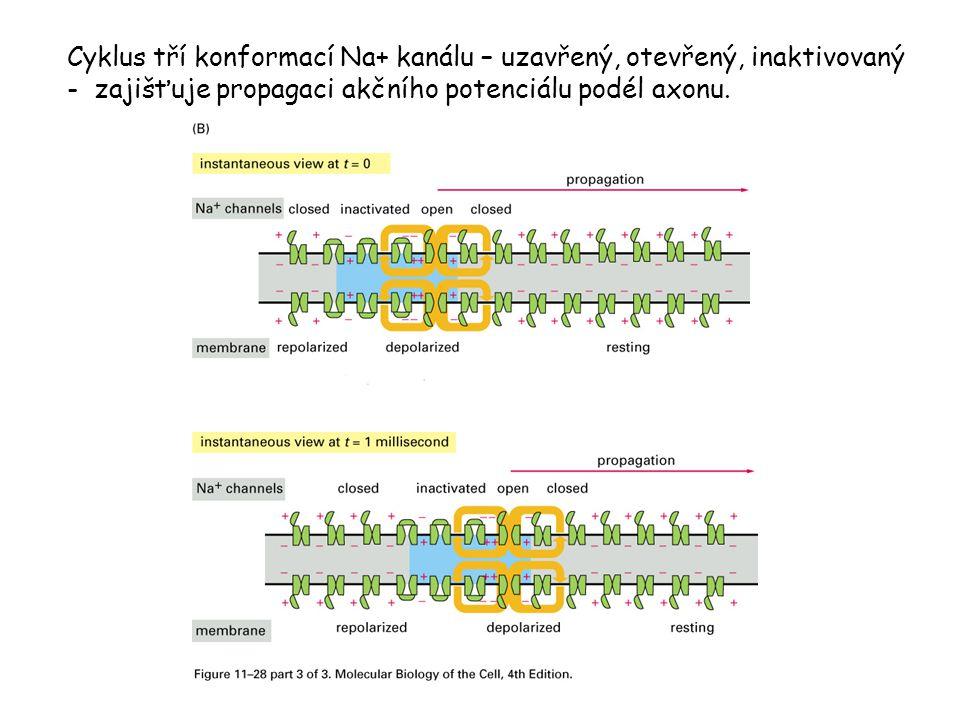 Cyklus tří konformací Na+ kanálu – uzavřený, otevřený, inaktivovaný - zajišťuje propagaci akčního potenciálu podél axonu.
