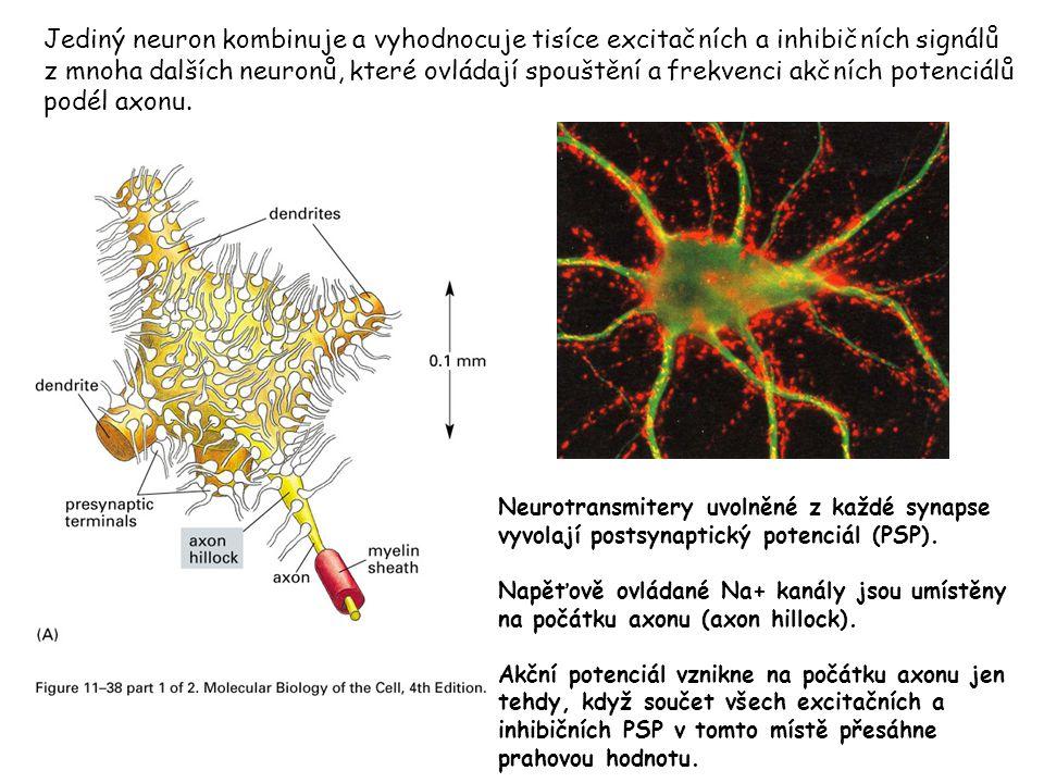 Jediný neuron kombinuje a vyhodnocuje tisíce excitačních a inhibičních signálů z mnoha dalších neuronů, které ovládají spouštění a frekvenci akčních potenciálů podél axonu.