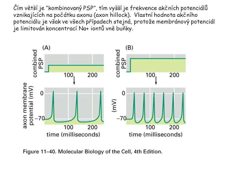 Čím větší je kombinovaný PSP , tím vyšší je frekvence akčních potenciálů vznikajících na počátku axonu (axon hillock).