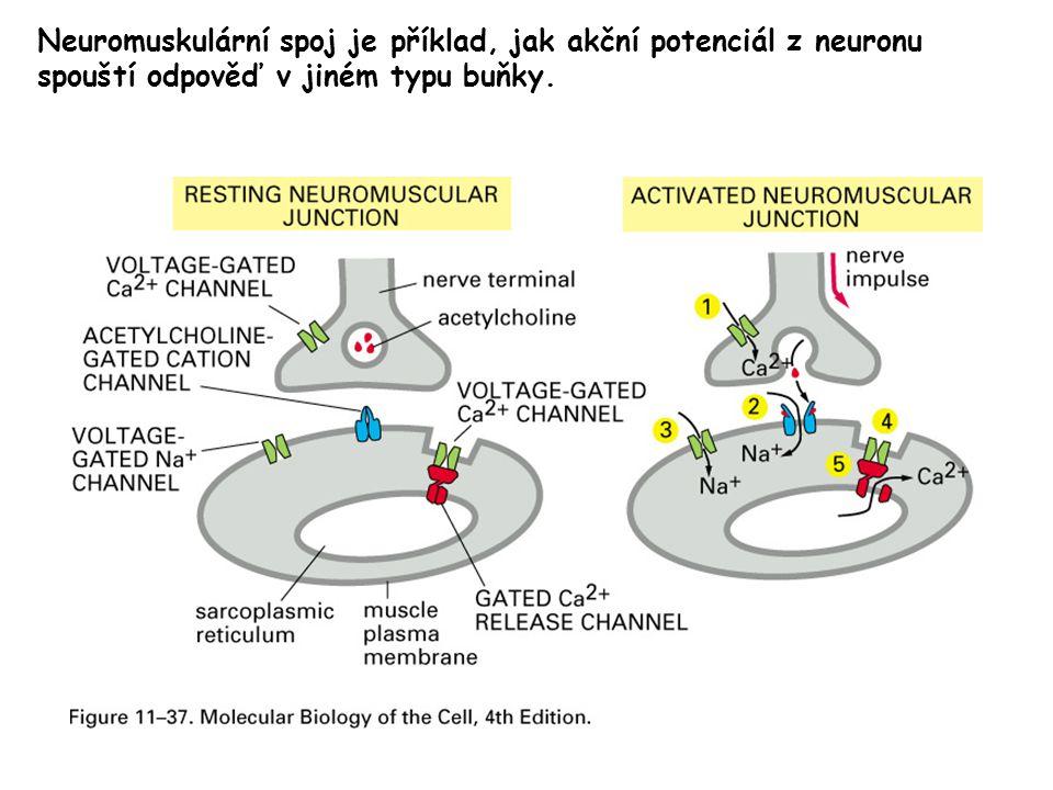 Neuromuskulární spoj je příklad, jak akční potenciál z neuronu spouští odpověď v jiném typu buňky.
