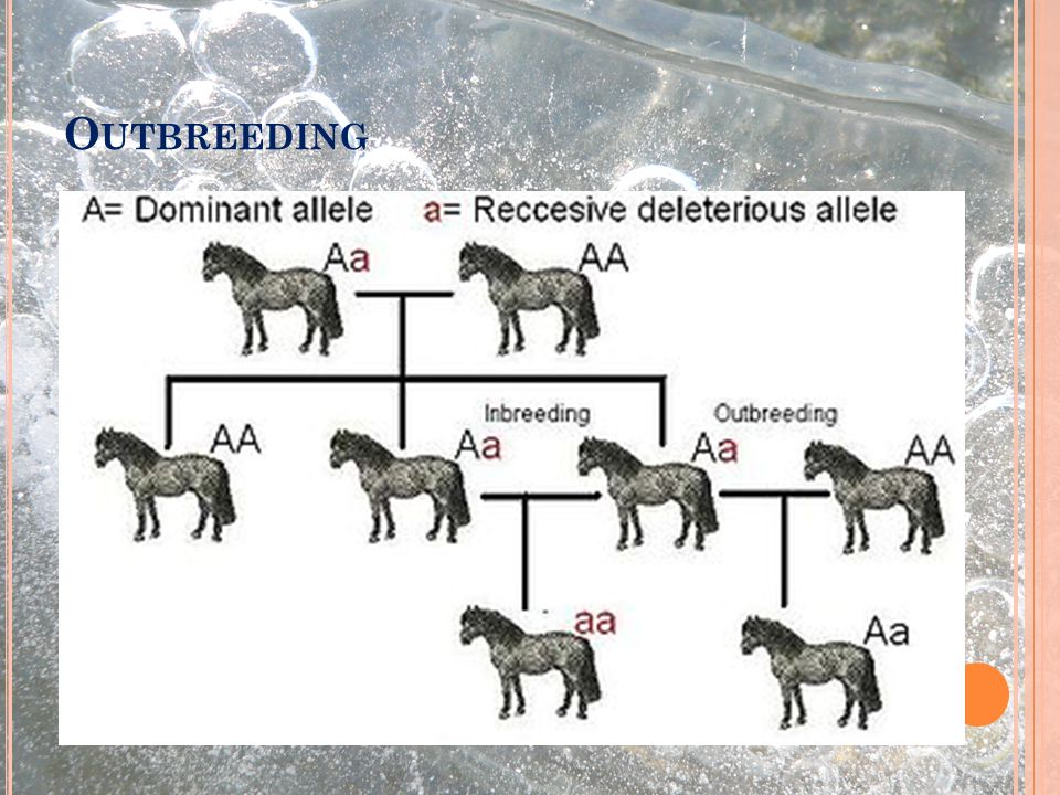 Outbreeding Výběr partnerů geneticky co nejvzdálenějších