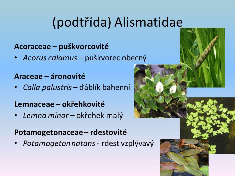 (podtřída) Alismatidae