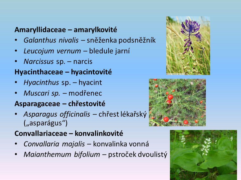 Amaryllidaceae – amarylkovité