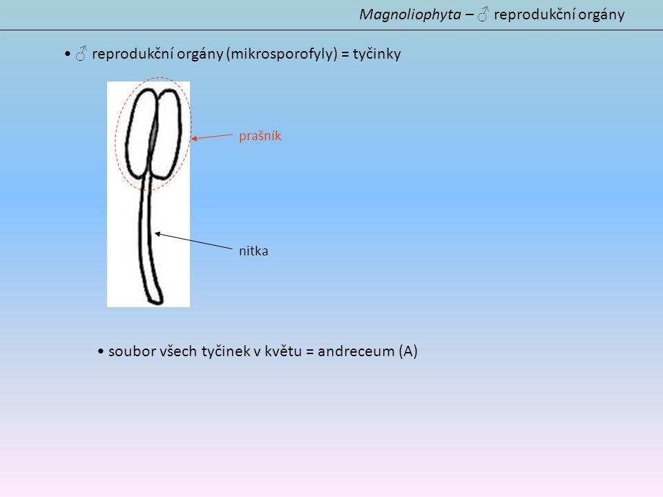 Magnoliophyta – ♂ reprodukční orgány