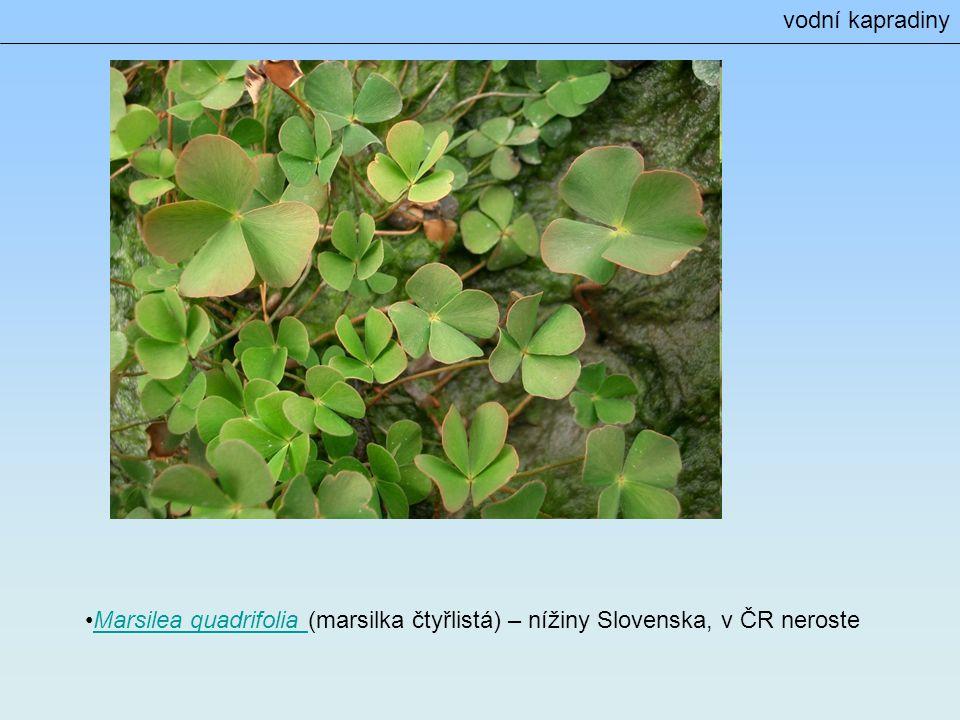 vodní kapradiny Marsilea quadrifolia (marsilka čtyřlistá) – nížiny Slovenska, v ČR neroste