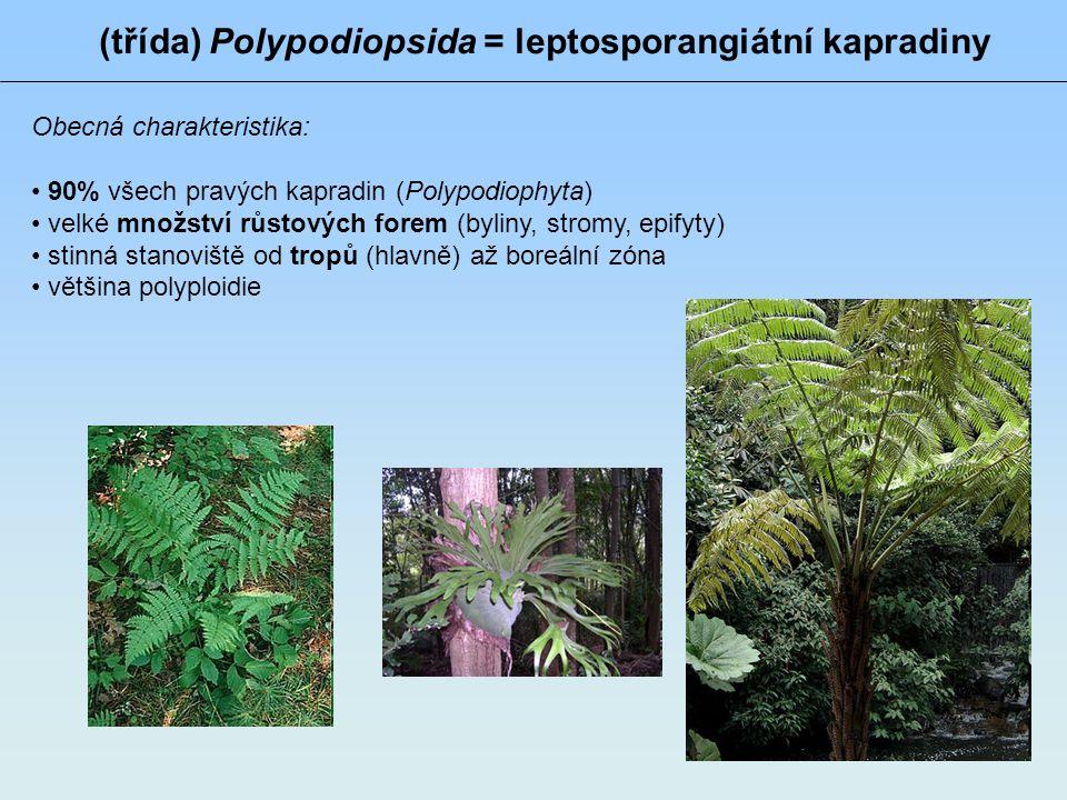 (třída) Polypodiopsida = leptosporangiátní kapradiny