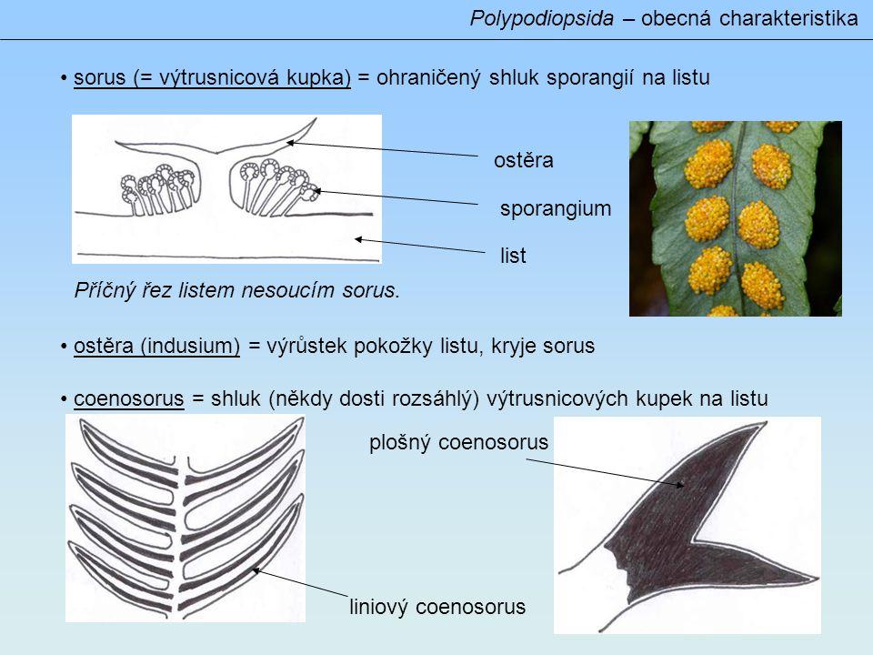Polypodiopsida – obecná charakteristika