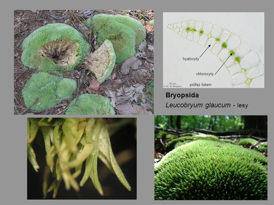 Leucobryum glaucum - lesy