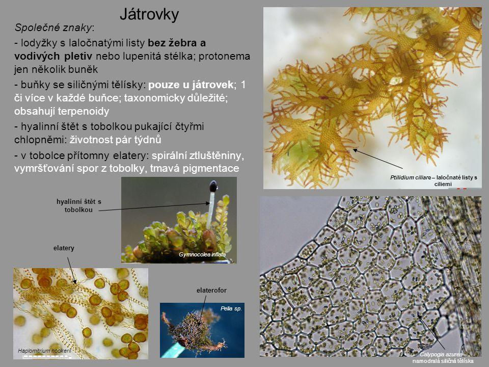 Ptilidium ciliare – laločnaté listy s ciliemi hyalinní štět s tobolkou