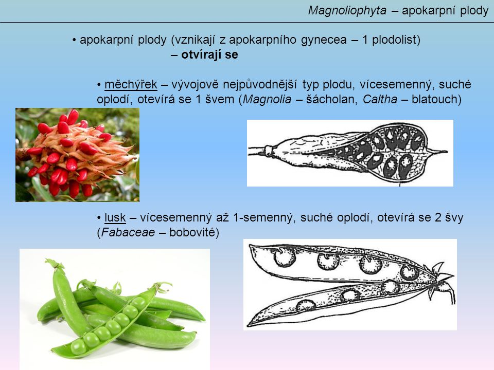 Magnoliophyta – apokarpní plody