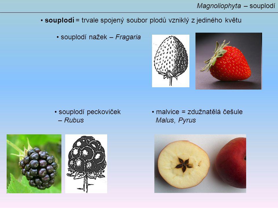 Magnoliophyta – souplodí