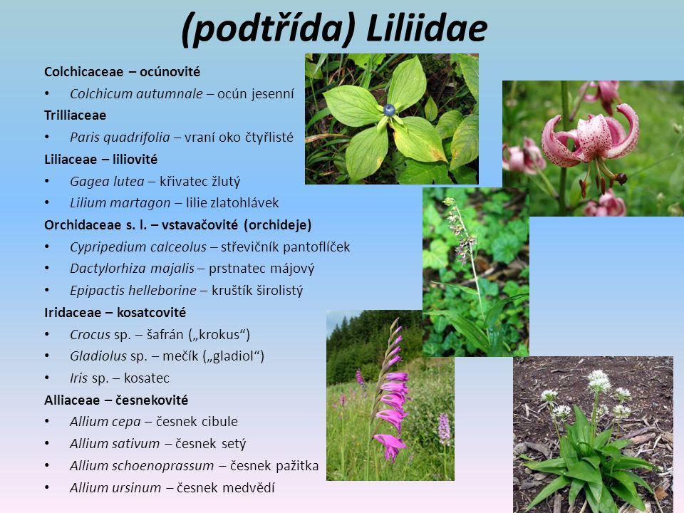 (podtřída) Liliidae Colchicaceae – ocúnovité