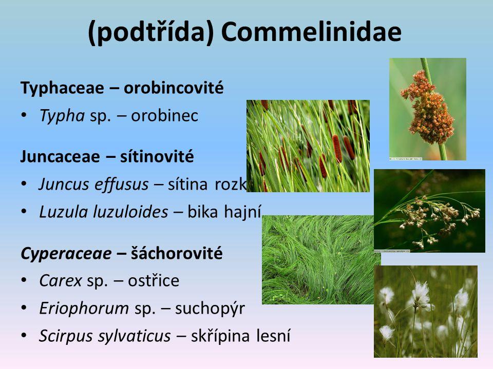 (podtřída) Commelinidae