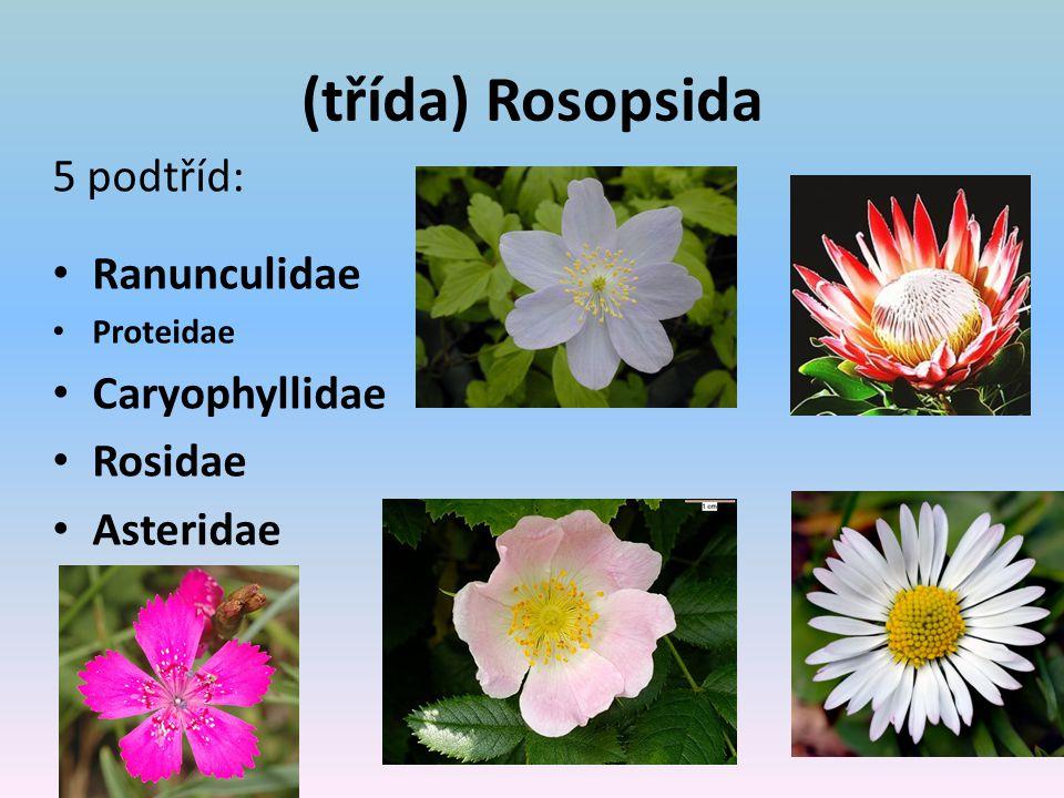 (třída) Rosopsida 5 podtříd: Ranunculidae Caryophyllidae Rosidae