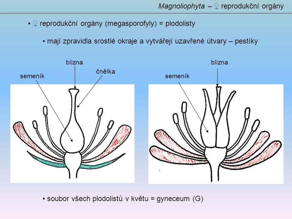Magnoliophyta – ♀ reprodukční orgány