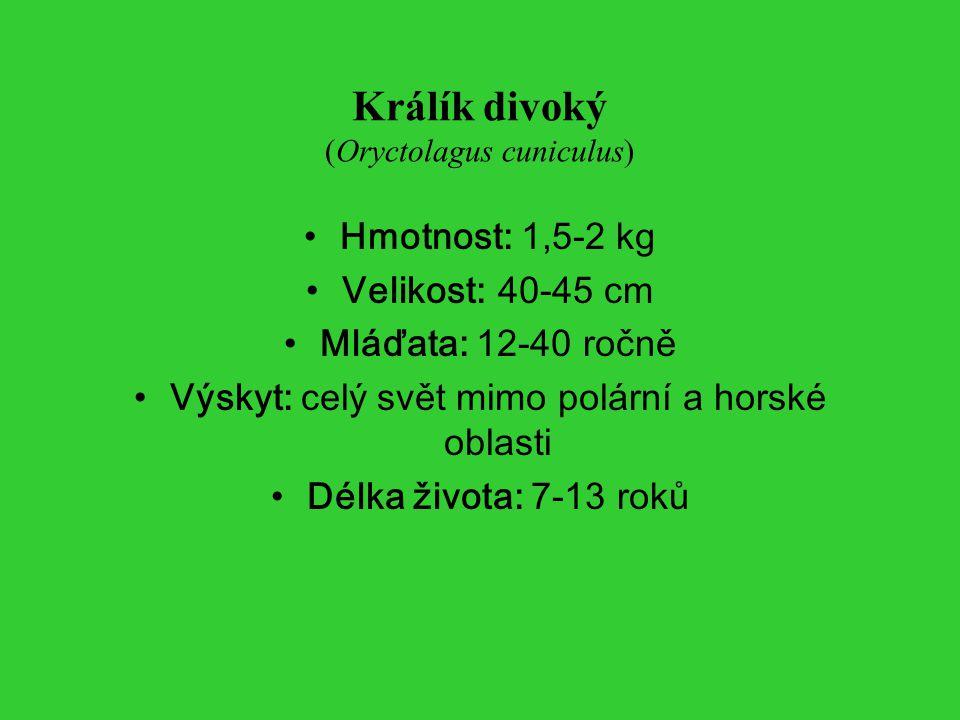 Králík divoký (Oryctolagus cuniculus)