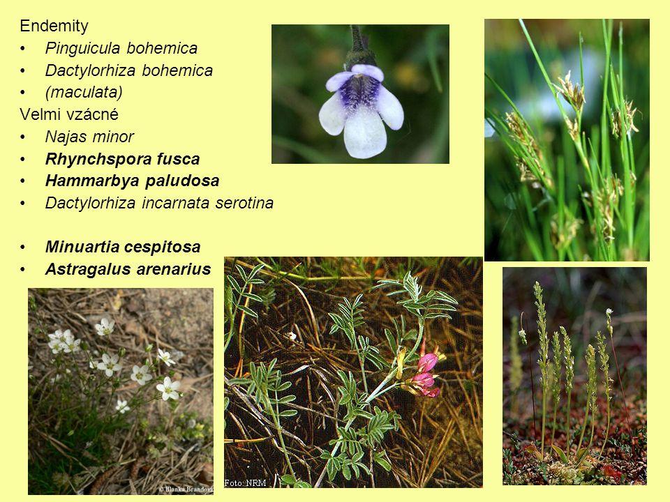 Endemity Pinguicula bohemica. Dactylorhiza bohemica. (maculata) Velmi vzácné. Najas minor. Rhynchspora fusca.