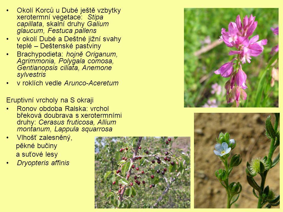 Okolí Korců u Dubé ještě vzbytky xerotermní vegetace: Stipa capillata, skalní druhy Galium glaucum, Festuca pallens