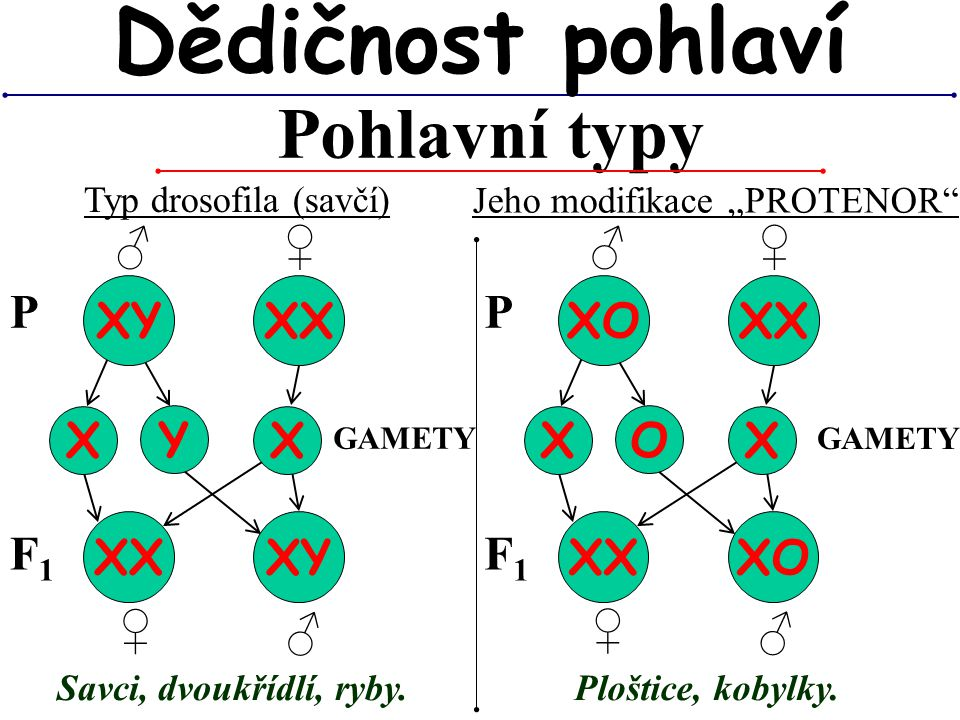 Dědičnost pohlaví Pohlavní typy ♂ ♀ ♂ ♀ P XY XX P XO XX X Y X X O X XX
