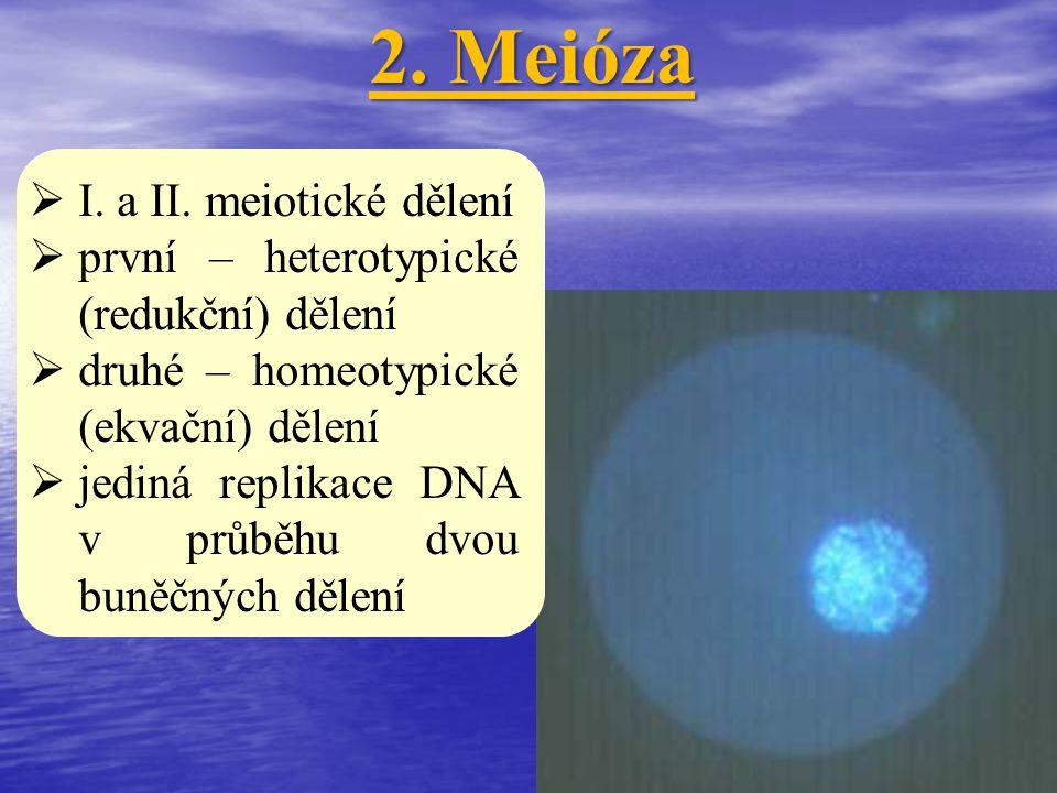 2. Meióza I. a II. meiotické dělení