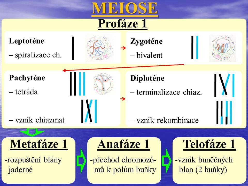 MEIOSE Profáze 1 Metafáze 1 Anafáze 1 Telofáze 1 Leptoténe