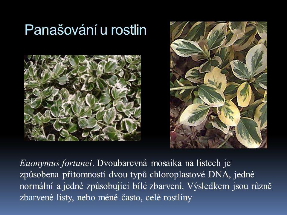Panašování u rostlin