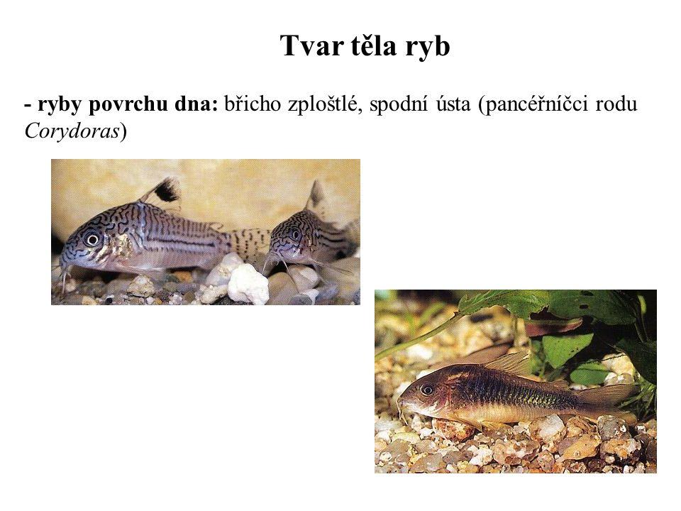 Tvar těla ryb - ryby povrchu dna: břicho zploštlé, spodní ústa (pancéřníčci rodu Corydoras)