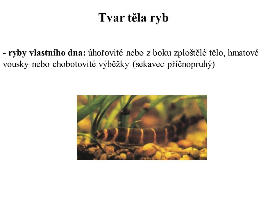 Tvar těla ryb - ryby vlastního dna: úhořovité nebo z boku zploštělé tělo, hmatové vousky nebo chobotovité výběžky (sekavec příčnopruhý)