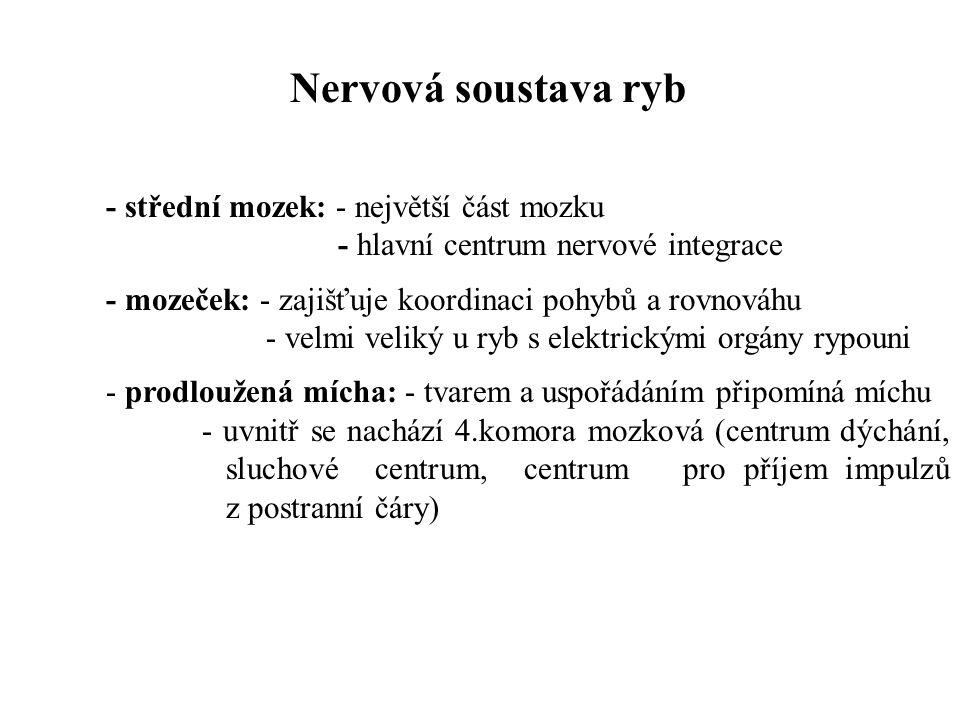 Nervová soustava ryb - střední mozek: - největší část mozku