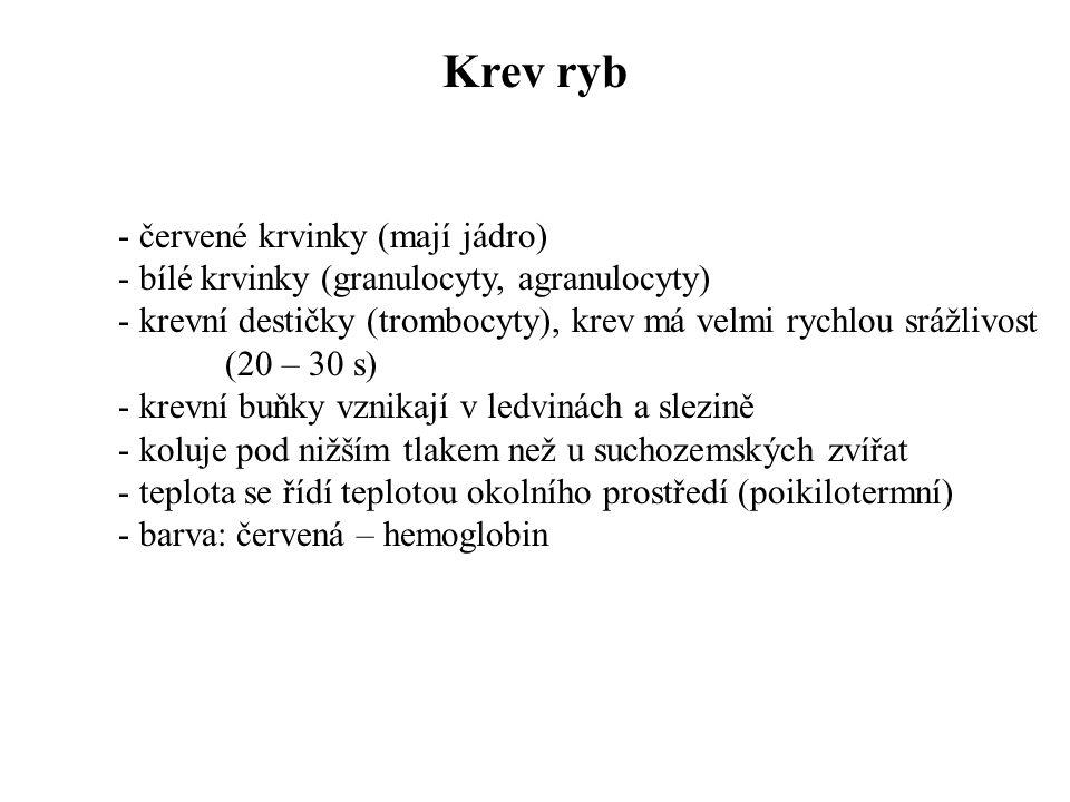 Krev ryb - červené krvinky (mají jádro)