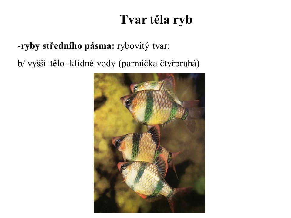 Tvar těla ryb ryby středního pásma: rybovitý tvar: