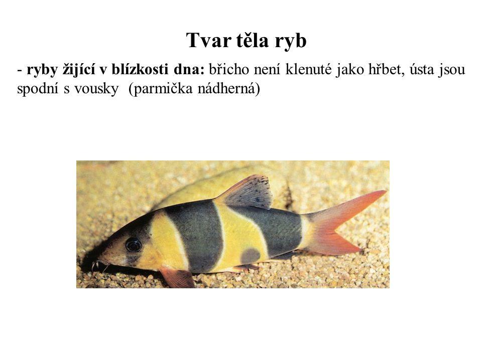 Tvar těla ryb ryby žijící v blízkosti dna: břicho není klenuté jako hřbet, ústa jsou spodní s vousky (parmička nádherná)